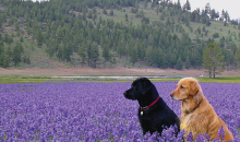 Dogs In The Beautiful Truckee Meadows